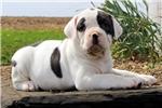 Picture of Daisy / American Bulldog