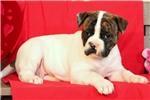 Picture of Beth / American Bulldog