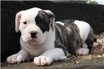 Picture of Deana / American Bulldog