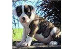 Picture of Louella / American Bulldog