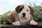 Picture of Dennis / American Bulldog