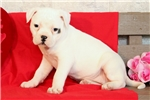Picture of Blakely / American Bulldog