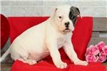 Picture of Bella / American Bulldog