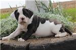Picture of Donna / American Bulldog