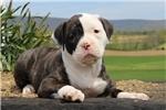 Picture of Dixie / American Bulldog