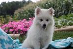 Picture of Selena / American Eskimo