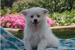 Picture of Markie / American Eskimo