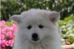 Picture of Mick / American Eskimo