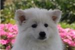 Picture of Max / American Eskimo