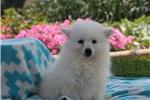 Picture of Sasha / American Eskimo
