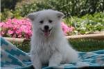 Picture of Scotty / American Eskimo