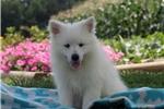 Picture of Savannah / American Eskimo