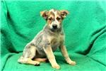Picture of Larissa / Blue Heeler