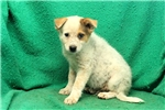 Picture of Larney / Blue Heeler