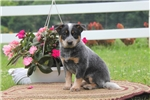 Picture of Lilac / Blue Heeler