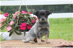 Picture of Lilly / Blue Heeler