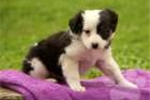 Picture of Amelia / Australian Shepherd Miniature