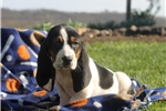 Picture of Charlie / Basset Hound