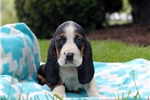 Picture of Tia / Basset Hound