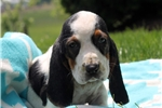Picture of Tanya / Basset Hound