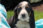 Picture of Tabitha / Basset Hound