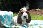 Picture of Tanner / Basset Hound