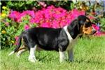 Picture of Jax / Beagle