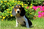 Picture of Judah / Beagle