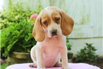 Picture of Chelsea / Beagle