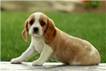 Picture of Esther / Beaglier