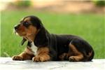 Picture of Estella / Beaglier