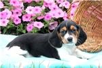 Picture of Carson / Beaglier