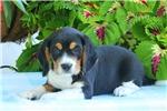 Picture of Pongo / Beaglier