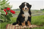 Picture of Caden / Bernese Mountain Dog