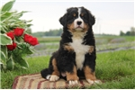 Picture of Cody / Bernese Mountain Dog
