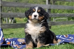 Picture of Daisy / Bernese Mountain Dog