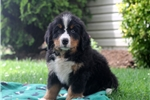 Picture of Wesley / Bernese Mountain Dog