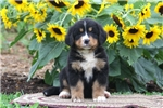 Picture of Tootsie / Bernese Mountain Dog