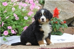 Picture of Roxie / Bernese Mountain Dog