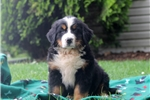 Picture of Wade / Bernese Mountain Dog