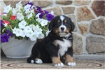 Picture of Gilbert / Bernese Mountain Dog