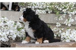 Picture of Carl / Bernese Mountain Dog