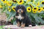 Picture of Tiffany / Bernese Mountain Dog
