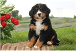 Picture of Cathy / Bernese Mountain Dog