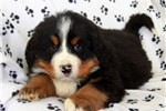 Picture of Oscar / Bernese Mountain Dog