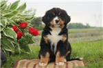 Picture of Curt / Bernese Mountain Dog