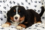 Picture of Opal / Bernese Mountain Dog