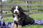 Picture of Dudley / Bernese Mountain Dog