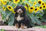 Picture of Peter / Bernese Mountain Dog