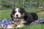 Picture of Davy / Bernese Mountain Dog